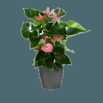 Anturio Rosa