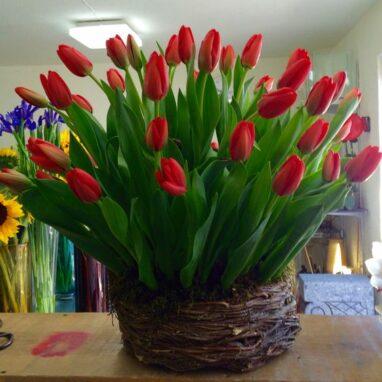 Nido con 40 Tulipanes